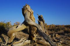 Populus diversifolia. China xinjiang mulei Royalty Free Stock Images