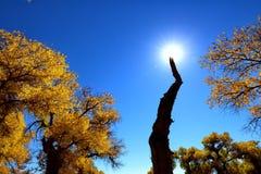 Populus diversifolia Wald lizenzfreie stockbilder