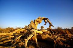 Populus diversifolia. In Xinjiang China Royalty Free Stock Photography