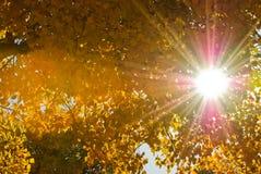 Populus en automne Image stock