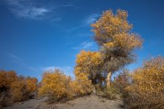 Populus euphratica Stock Image