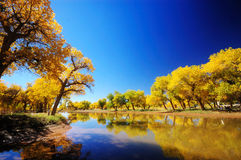 Populus euphratica. In Inner Mongolia, China Stock Images