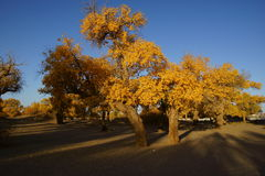 Populus euphratica. Growing in the Inner Mongolia Stock Photos
