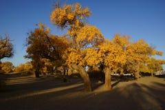 Populus euphratica Zdjęcia Stock