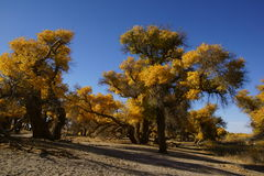 Populus euphratica Stock Photography