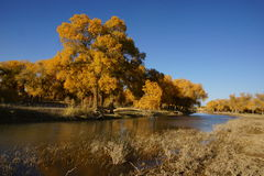 Populus euphratica Stock Photos