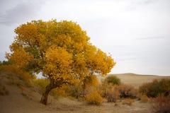 Populus euphratica lizenzfreie stockfotografie