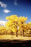 Populus euphratica stockbilder