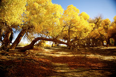Populus euphratica. With golden leaves under the blue sky in autumn in Ejinaqi, inner-Mongolia China Stock Photography