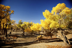 Populus euphratica. With golden leaves under the blue sky in autumn in Ejinaqi, inner-Mongolia China Royalty Free Stock Image