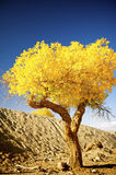 Populus euphratica. With golden leaves under the blue sky in autumn in Ejinaqi, inner-Mongolia China Stock Photos
