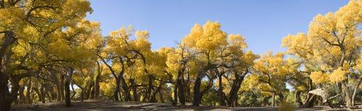Populus euphratica Fotografia Stock