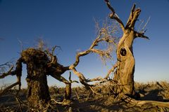 Populus euphratica Lizenzfreie Stockbilder