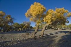 Populus euphratica Fotografie Stock Libere da Diritti