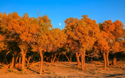 Populus euphratica Fotografie Stock
