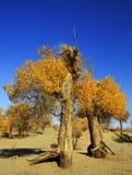 Populus euphratica Zdjęcie Royalty Free