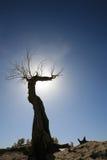 Populus euphratica lizenzfreie stockfotos