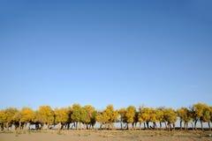 Populus euphratica Bäume lizenzfreies stockbild