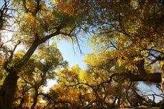 Populus euphratica Baumwald Lizenzfreies Stockfoto