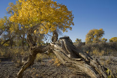 Populus euphratica. A  Populus euphratica  with blue sky Royalty Free Stock Image