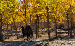 Populus euphratica and camel riding people Royalty Free Stock Photography