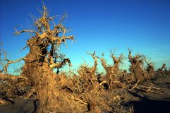 Populus euphratica. The death of populus euphratica forest, with blue sky Stock Images