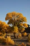 Populus euphratica Royalty Free Stock Photo