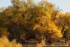 Populus euphratica. Desert gobi  northwest Stock Images