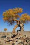 Populus euphratica stock images
