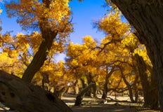 Populus euphratica di Beauthful in autunno immagine stock