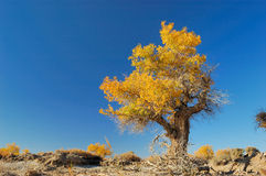 Populus Euphratica Forest. Diversifolious poplar is the dominant native. woody species distributed in the desert of Mulei, east of Xinjiang province, which royalty free stock photography