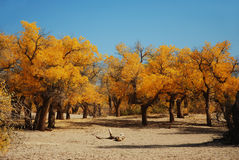 Populus euphratica forest. Autumn populus euphratica forest under the Royalty Free Stock Photography