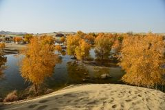 The populus euphratica forest in the desert. The populus euphratica forest in the Taklimakan Desert Royalty Free Stock Photos