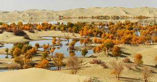 The populus euphratica forest in the desert. The populus euphratica forest in the Taklimakan Desert Royalty Free Stock Photography
