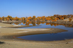 The populus euphratica forest in the desert. The populus euphratica forest in the Taklimakan Desert Stock Photos