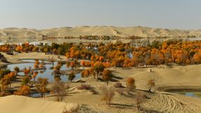 The populus euphratica forest in the desert Stock Photography