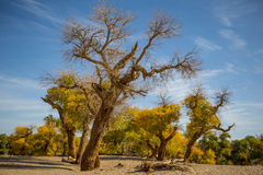 Populus euphratica forest in dessert. Populus euphratica with golden leaves and green leaves in dessert under the blue sky in autumn in Ejinaqi, inner-Mongolia Royalty Free Stock Photography
