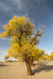 Populus euphratica forest in dessert. Populus euphratica with golden leaves and green leaves in dessert under the blue sky in autumn in Ejinaqi, inner-Mongolia Stock Photography