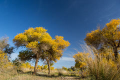 Populus euphratica forest in dessert. Populus euphratica with golden leaves and green leaves in dessert under the blue sky in autumn in Ejinaqi, inner-Mongolia Stock Photos
