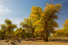 Populus euphratica forest in dessert. Populus euphratica with golden leaves and green leaves in dessert under the blue sky in autumn in Ejinaqi, inner-Mongolia Royalty Free Stock Photos
