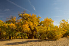 Populus euphratica forest in dessert. Populus euphratica with golden leaves and green leaves in dessert under the blue sky in autumn in Ejinaqi, inner-Mongolia Royalty Free Stock Photo