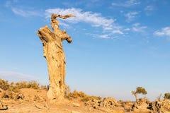Populus euphratica on gobi desert royalty free stock images