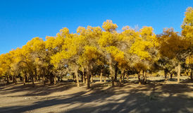 Populus euphratica. Hu Yangchang growing in the desert, it is cold, drought, salt, resistant to wind and sand, there is a strong vitality. Born Populus Royalty Free Stock Images