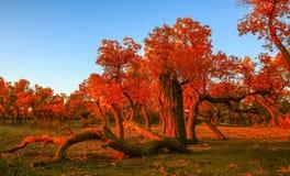 Populus euphratica Stock Photo