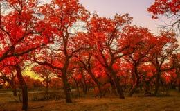 Populus euphratica Royalty Free Stock Image
