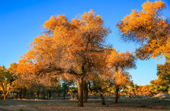 Populus euphratica. Hu Yangchang growing in the desert, it is cold, drought, salt, resistant to wind and sand, there is a strong vitality. Born Populus Stock Image