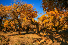 Populus euphratica. Hu Yangchang growing in the desert, it is cold, drought, salt, resistant to wind and sand, there is a strong vitality. Born Populus Royalty Free Stock Photography