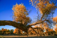 Populus euphratica Stock Photography