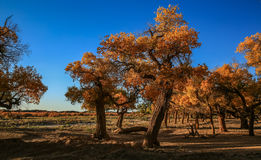 Populus euphratica. Hu Yangchang growing in the desert, it is cold, drought, salt, resistant to wind and sand, there is a strong vitality. Born Populus Stock Photos