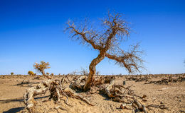 Populus euphratica. Hu Yangchang growing in the desert, it is cold, drought, salt, resistant to wind and sand, there is a strong vitality. Born Populus Royalty Free Stock Image